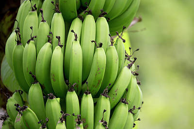 Banana Photograph - South Pacific, Fiji, Close Up Of Bunch by Aliscia Young