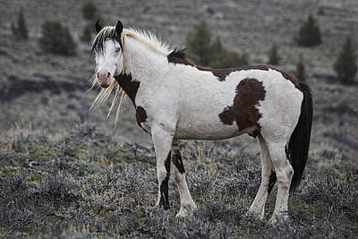 Photograph - South Steens Wild Stallion by Wes and Dotty Weber