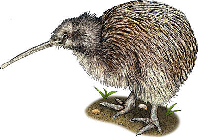 Kiwi Bird Photograph - Southern Brown Kiwi, Illustration by Roger Hall