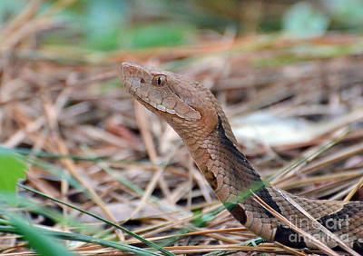 Photograph - Southern Copperhead by Kathy Baccari