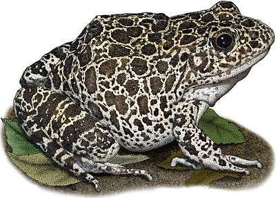 Photograph - Southern Crawfish Frog, Illustration by Roger Hall