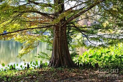 Photograph - Southern Cypress by Carol Groenen