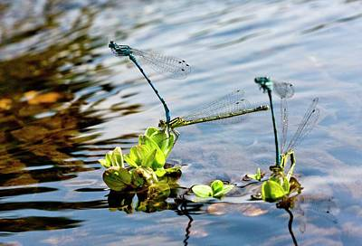 Damselflies Photograph - Southern Damselflies Mating by Bob Gibbons