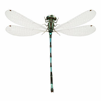 Damselflies Photograph - Southern Damselfly by Natural History Museum, London