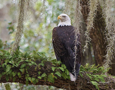Photograph - Southern Eagle by Mike Fitzgerald