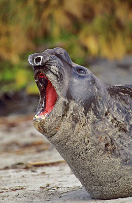 Falkland Islands Photograph - Southern Elephant Seal Bull Mouth Wide by Martin Zwick