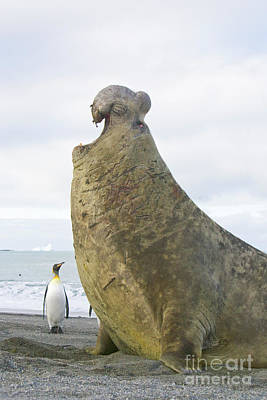 Elephant Seals Photograph - Southern Elephant Seal Bull Roaring by Yva Momatiuk and John Eastcott