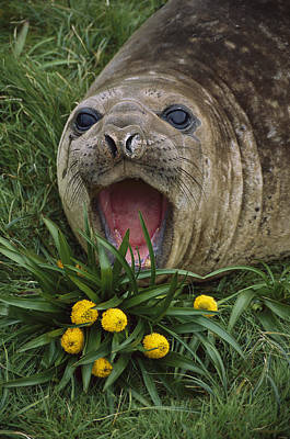 Photograph - Southern Elephant Seal Yearling Calling by Tui De Roy