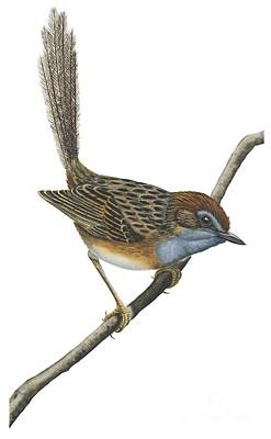 Wren Drawing - Southern Emu Wren by Anonymous