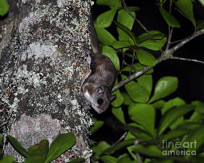 Southern Flying Squirrel Art Print by Al Powell Photography USA