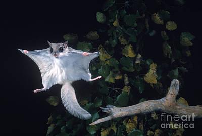 Southern Flying Squirrel Art Print by Nick Bergkessel Jr