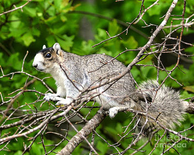 Photograph - Southern Fox Squirrel On A Branch by Kathy Baccari