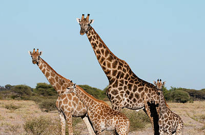 Southern Giraffe (giraffa Camelopardalis Art Print