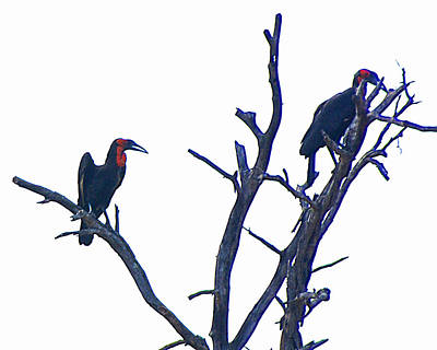 Hornbill Digital Art - Southern Ground Hornbills In A Tree In Kruger National Park-south Africa   by Ruth Hager
