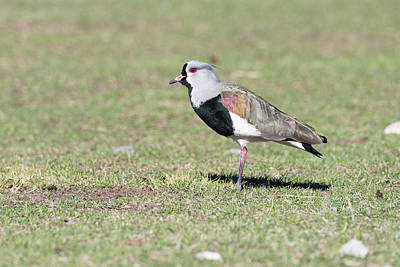 Lapwing Wall Art - Photograph - Southern Lapwing by Dr P. Marazzi/science Photo Library