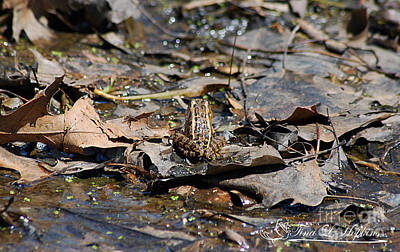 Photograph - Southern Leopard Frog 20120416_126a by Tina Hopkins