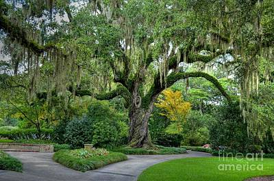 Photograph - Southern Live Oak Tree by Kathy Baccari
