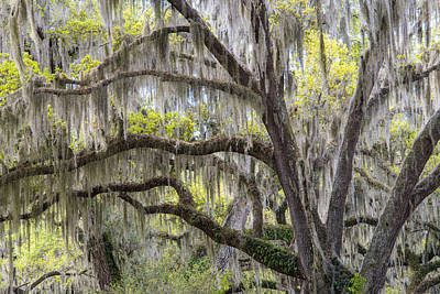 Southern Live Oak With Spanish Moss Art Print by Scott Leslie