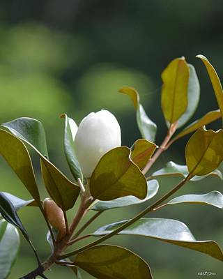 Photograph - Southern Magnolia In Bloom by Maria Urso