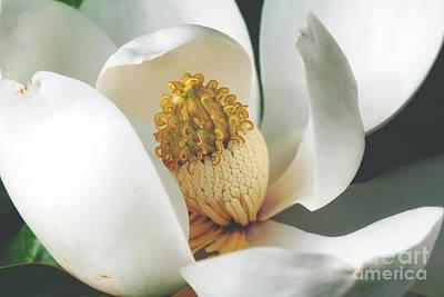 Southern Magnolia Tree Bloom Art Print by Joan McCool