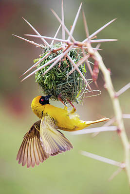 Southern Masked Weaver Building Nest Print by Simon Booth