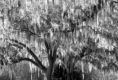 Photograph - Southern Oaks And Moss by Rich Franco
