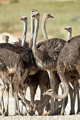 Ostrich Photograph - Southern Ostriches Performing Geophagia by Tony Camacho