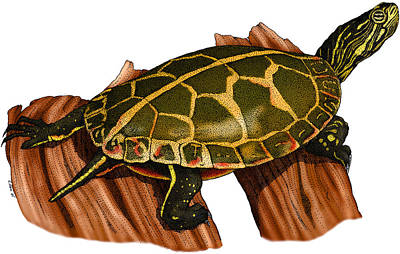 Painted Turtle Wall Art - Photograph - Southern Painted Turtle by Roger Hall