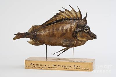 Southern Pigfish Art Print