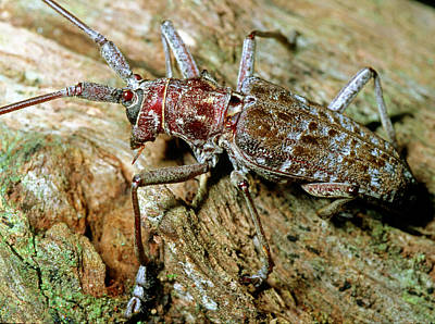 Photograph - Southern Pine Sawyer Beetle by Millard H. Sharp