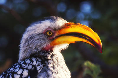 Southern Red Billed Hornbill Original by Marco Bertazzoni