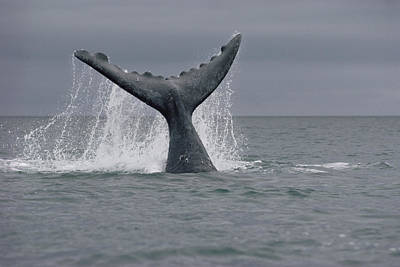 Valdes Photograph - Southern Right Whale Tail Peninsula by Flip Nicklin
