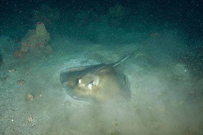 Southern Sting Ray Art Print by Andrew J. Martinez