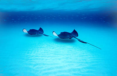 Fluid Photograph - Southern Stingrays Grand Caymans by Panoramic Images