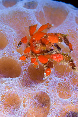Photograph - Southern Teardrop Crab Pelia Rotunda by Andrew J Martinez