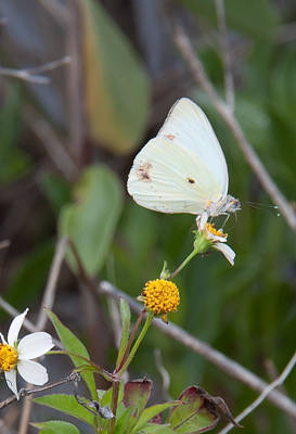Photograph - Southern White Butterfly by John Black