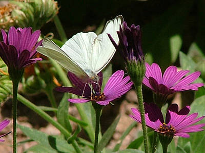 Photograph - Southern White Butterfly On Purple Flower - 110 by Mary Dove