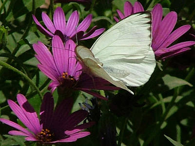 Photograph - Southern White Butterfly On Purple Flower - 111 by Mary Dove