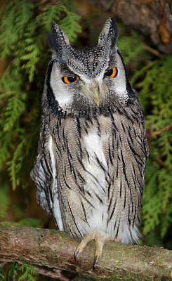 Southern White-faced Scops Owl Art Print by Nigel Downer