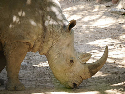 Photograph - Southern White Rhinoceros by Richard Reeve