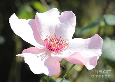 Photograph - Southern Wild Rose by Carol Groenen
