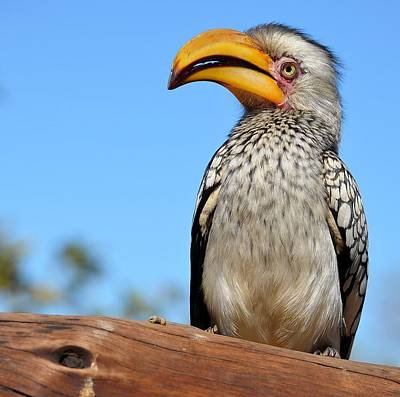 Southern Yellow-billed Hornbill Original by Heidi Lane