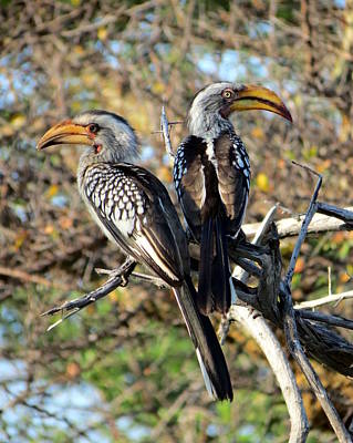 Photograph - Southern Yellow Billed Hornbills by Ramona Johnston