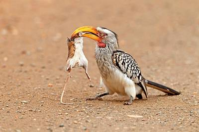 Hornbill Wall Art - Photograph - Southern Yellow-billed Hornbill With Prey by Bildagentur-online/mcphoto-schaef