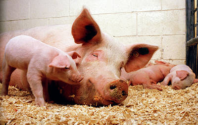 Baby Pigs Wall Art - Photograph - Sow And Piglets by Keith Weller/us Department Of Agriculture/science Photo Library