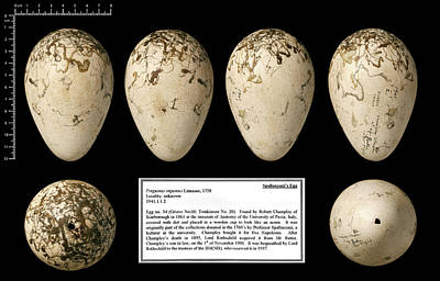 Spallanzani's Great Auk Egg Print by Natural History Museum, London