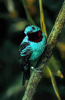 Print featuring the painting Spangled Cotinga Turquoise Bird by Tracie Kaska