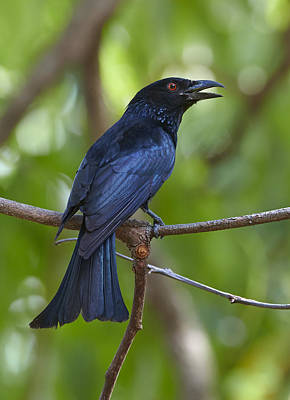 Spangled Drongo Calling Queensland Art Print