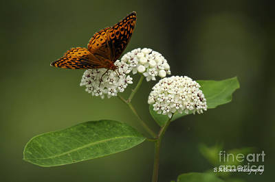 Photograph - Spangled Fritillary by Barbara Bowen