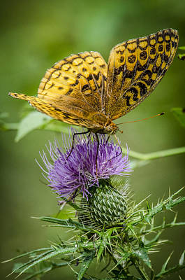 Photograph - Spangled Fritillary On Thistle 2 by Bradley Clay
